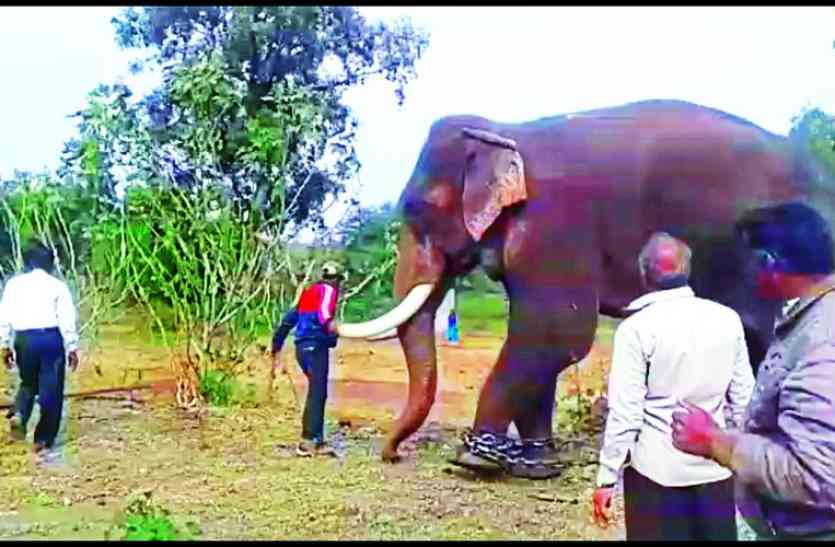 बाघ को घेरने की तैयारी, हाथी को लाया गया