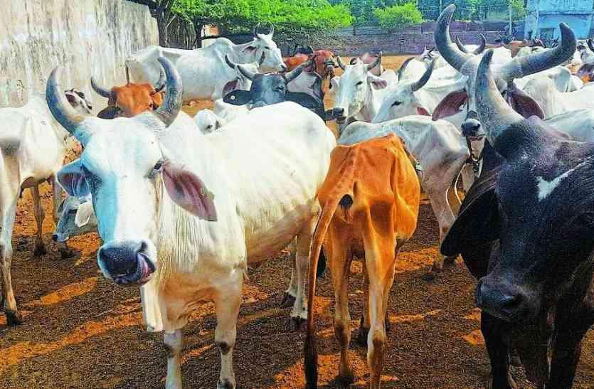 अलवर जिले में ही क्यों अधिक हो रही है गोतस्करी, यह है कारण