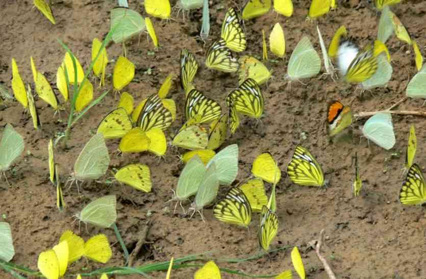 चंबलÓ की आवोहवा में अपने पर फैला रही तितलियांÓ