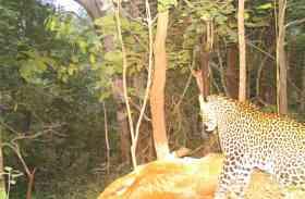 रानीपुर में तेंदुए ने फिर दी दस्तक...