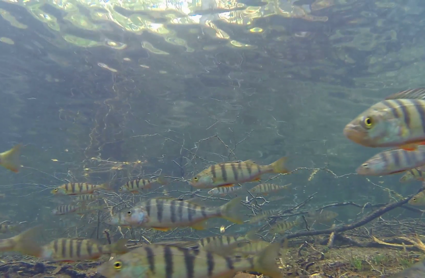 चंबल में मिली मछलियों की 33 प्रजातियां