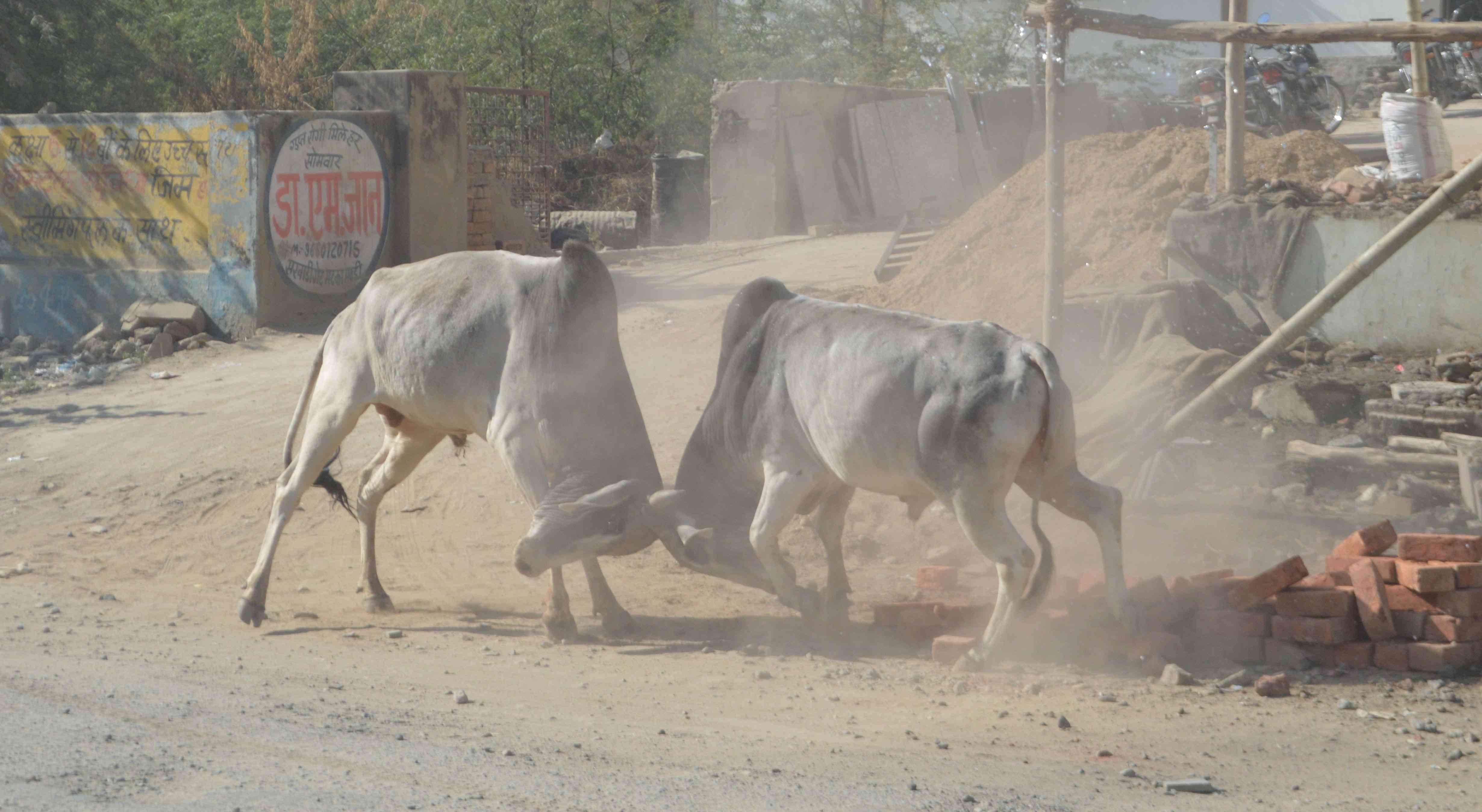 pics of Bull fighting