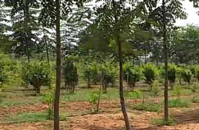 राजस्थान के किसान ने अपनी मेहनत आैर तकनीक से मरूभूमि पर बिखेरी चंदन की महक