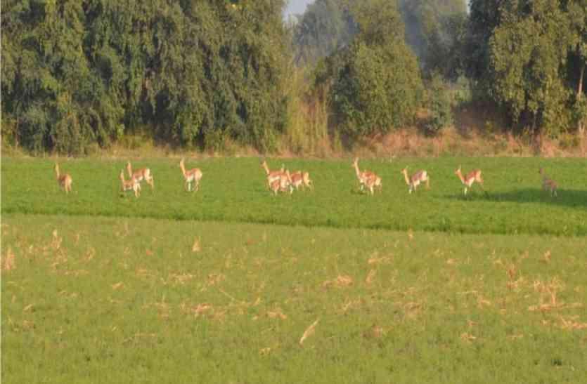 खेतों में घूम रहे हिरन के झुंड, फसलें हो रहीं चौपट