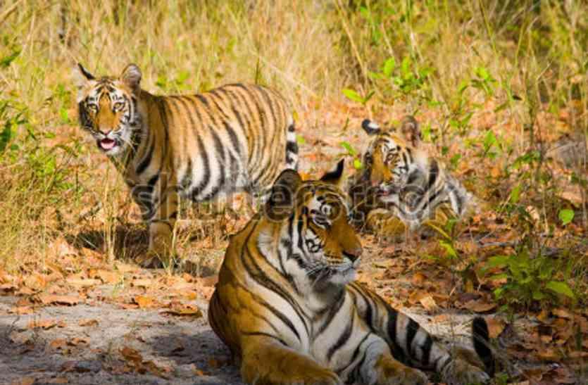 बांधवगढ़ में एक दिन में दिखे उन्नीस बाघ
