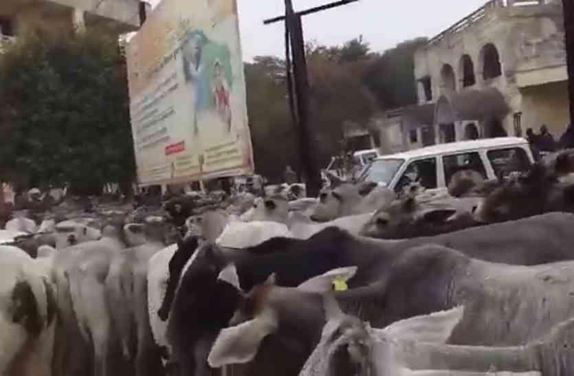 अन्ना जानवरों से परेशान किसानों ने तहसील परिसर में छोड़े जानवर, मची अफरा-तफरी