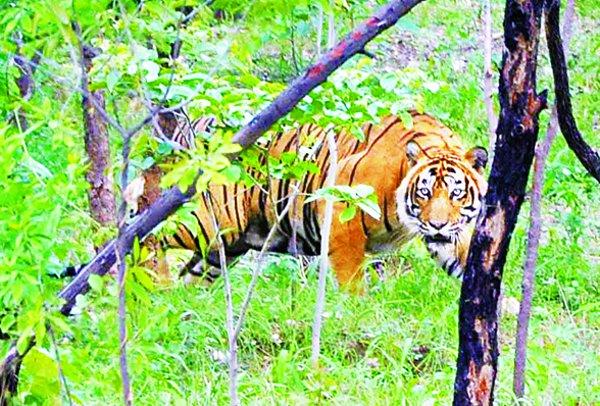 आपको चाहिए बाघों का साथ तो ऐसे  मिल सकता है मौका