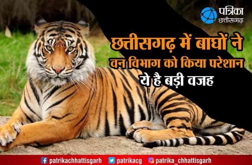 Analysis News: छत्तीसगढ़ में बाघों ने वन विभाग को किया परेशान, ये है बड़ी वजह