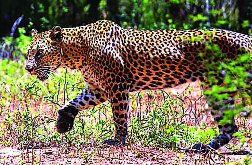 तीन बच्चों को अपना शिकार बना चुका तेंदुआ अब मवेशियों को बना रहा शिकार