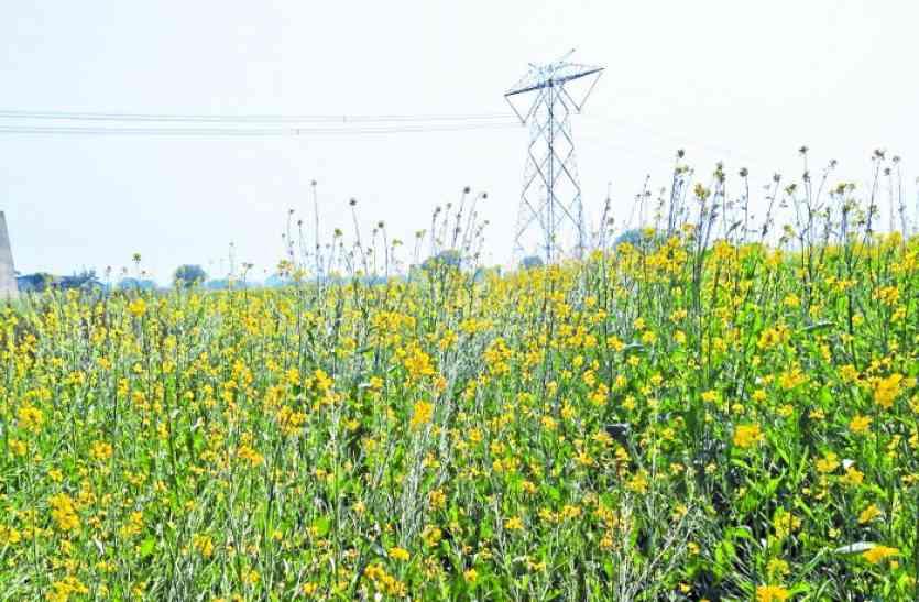 धान के बंपर उत्पादन के बाद रबी की फसलों से भरेगा किसानों का भंडार, ये है कृषि विभाग की रिपोर्ट