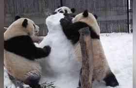 वीडियो: खेलते-खेलते आपस में भिड़ गए तीन पांडा. उसके बाद जो हुआ वह देखने लायक है
