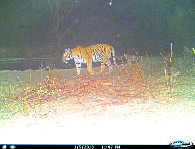 कठौतिया में दो नए बाघ, डर के मारे शावकों के साथ केरवा आई बाघिन