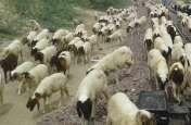 अचानक से तड़प तड़प कर मरने लगी भेड़ें, क्षेत्र में दहशत