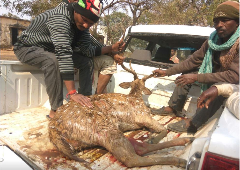 Deer Injured in Chandauli
