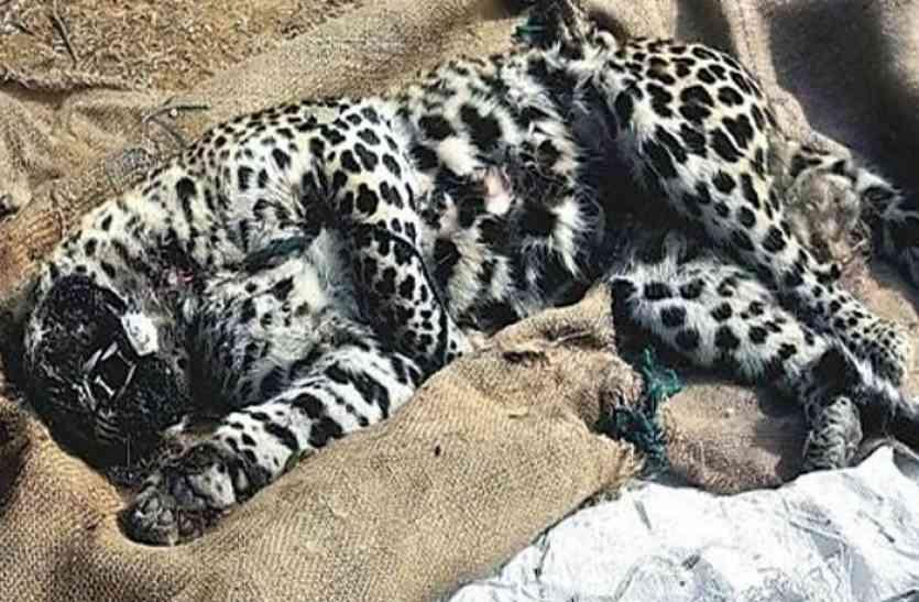 जंगल में तेंदुए का शव मिलने से हड़कम्प, हत्या की जताई जा रही आशंका