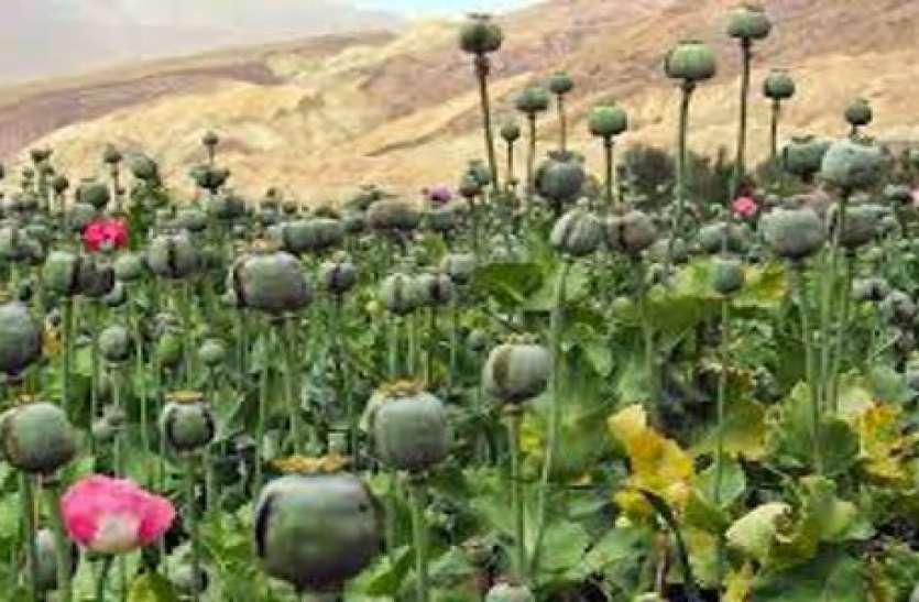 ऐसे होती है अफीम की खेती, राजस्थान में इसलिए कहा जाता है काला सोना...