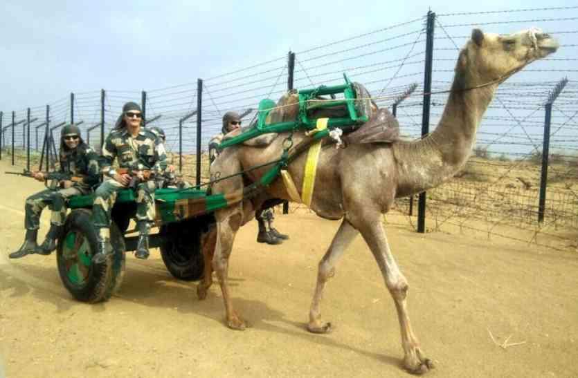 पश्चिमी सरहद की निगेहबानी कर रहे ऊंटों की गर्दन गौरव से ऊंची, पाकिस्तान ने भी माना इनका लाेहा