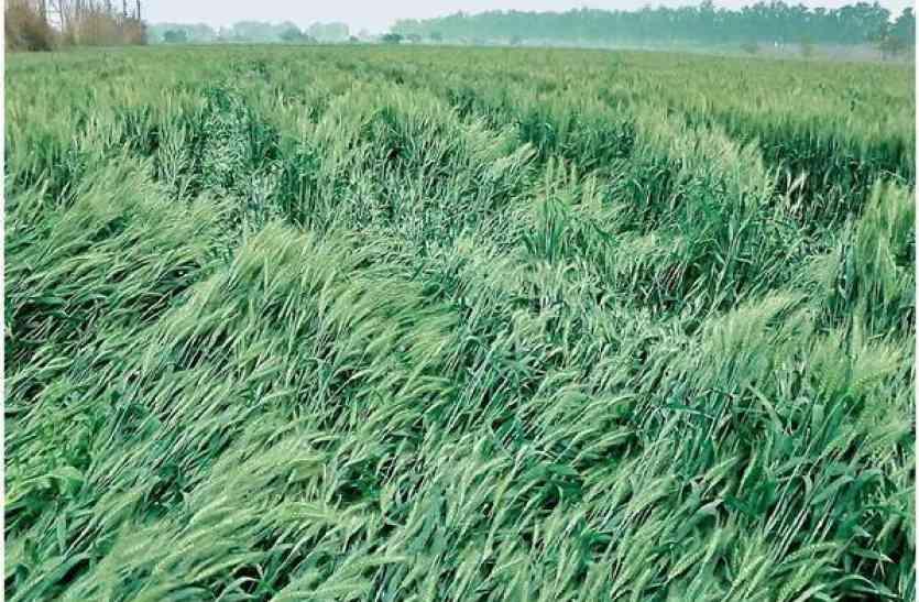 ओलावृष्टि से फसलें हुर्इं आड़ी, अभी तक खेतों तक नहीं पहुंचे अधिकारी