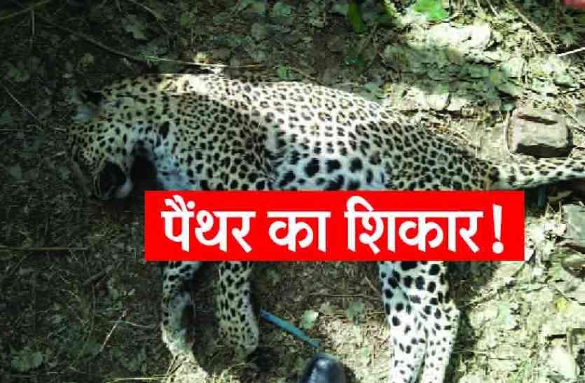 BREAKING : करंट से विद्युत लाइन पर लटके बंदर का शिकार करने चढ़े पैंथर की मौत