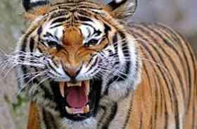 बाघ ने एक मवेशी को बनाया निवाला
