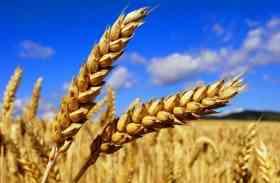 Wheat Bran: Wheat Bran News in Hindi, Breaking News, Photos