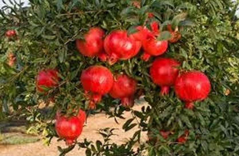 एक माली जिसके पास एक अनार खाने के पैसे नहीं थे अचानक आ गए बीस बीघा में लगे अनार के बाग