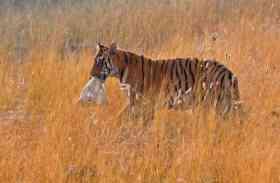 आबादी वाले क्षेत्रों में कई दिनों से घूम रही बाघिन
