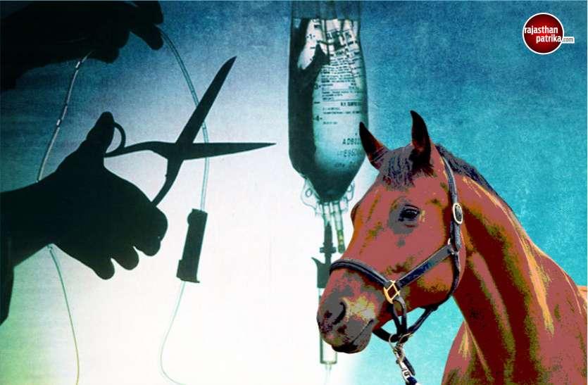 घोड़ी पर बैठने से पहले करा लें उसका मेडिकल चैकअप