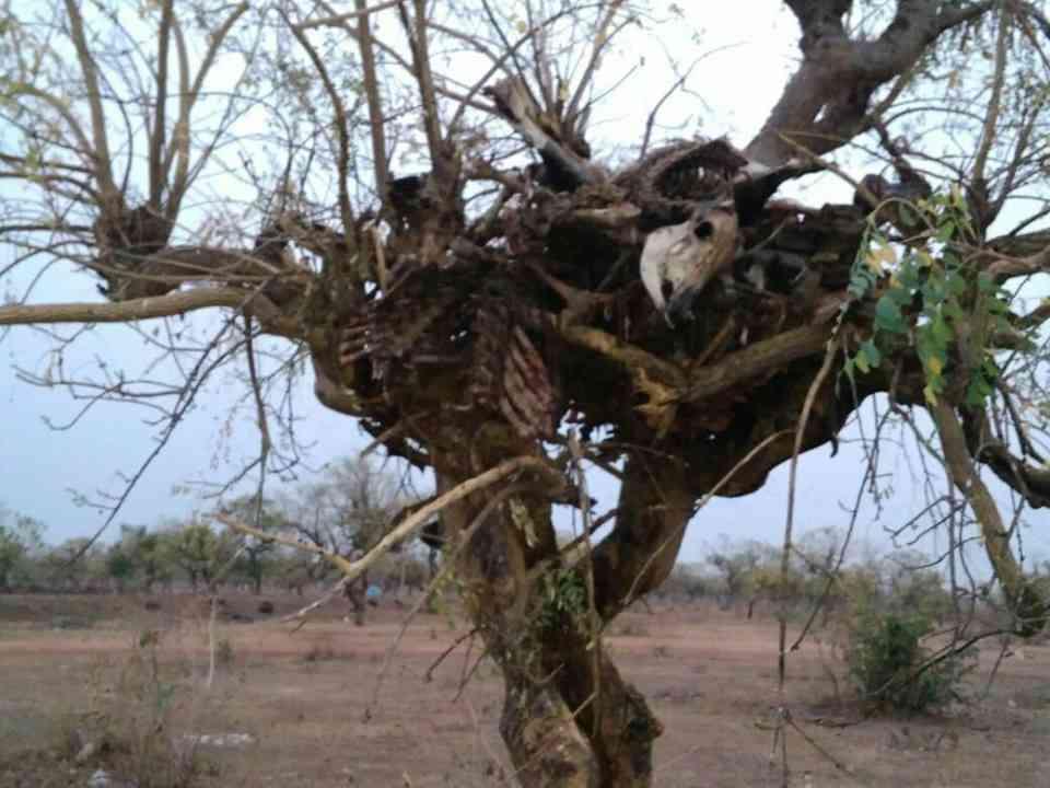 दो दिन बाद मंगलवार की स्थिति जिसमें मामला उजागर होने के बाद पेड़ों से कंकाल हटा दिए गए हैं