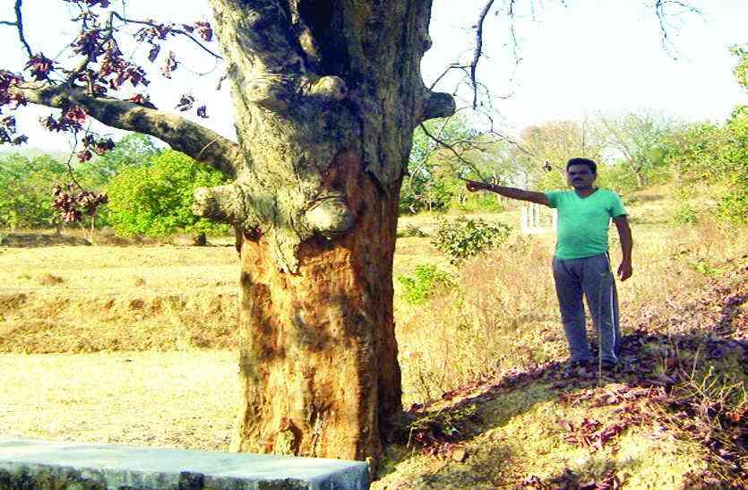 छिलका उतार कर पेड़ों को सूखा रहे हैं तस्कर, सूखने के बाद खुलेआम कर रहे लकड़ी की तस्करी