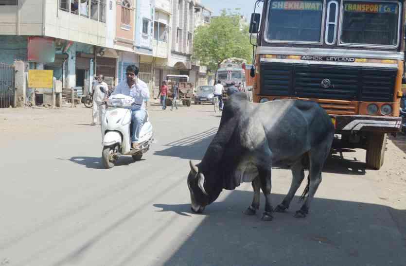 ऐसा शहर जहां अधिकारी सांड दिखने पर कहते हैं गाय होगी