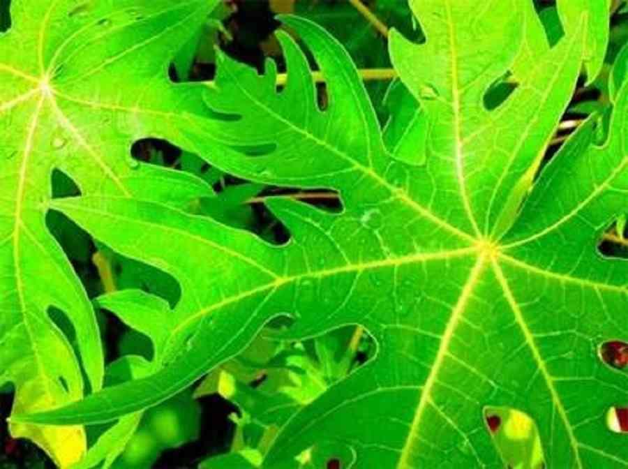 disease,liver,fruit,KIDNEY,profit,papaya,leaf,
