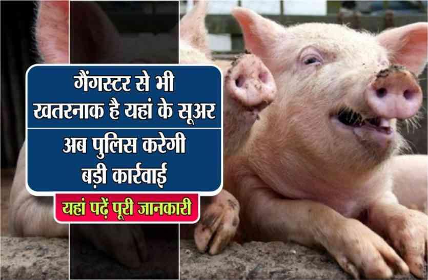 गैंगस्टर से भी खतरनाक है यहां के सूअर, अब पुलिस करेगी बड़ी कार्रवाई, यहां पढ़ें पूरी खबर