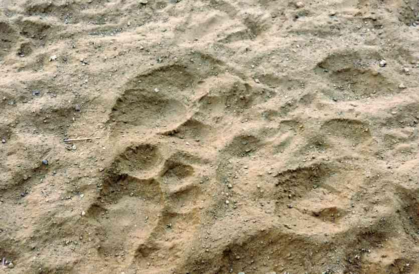 भालू, भेडिय़ा और लोमड़ी की हुई गिनती