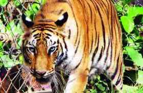 जानें क्यों प्रदेश में टाइगर की संख्या बढना ही बन गया उसकी जान का दुश्मन
