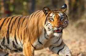 तो इस कारण जोधपुर जंतुआलय में नहीं दहाड़ सकता टाइगर, दर्शक कर रहे हैं कब से इंतजार