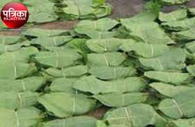 बांसवाड़ा : वन विभाग की भरेगी झोली, तेंदूपत्ता संग्रहण से होगी दो करोड़ 65 लाख से अधिक आय