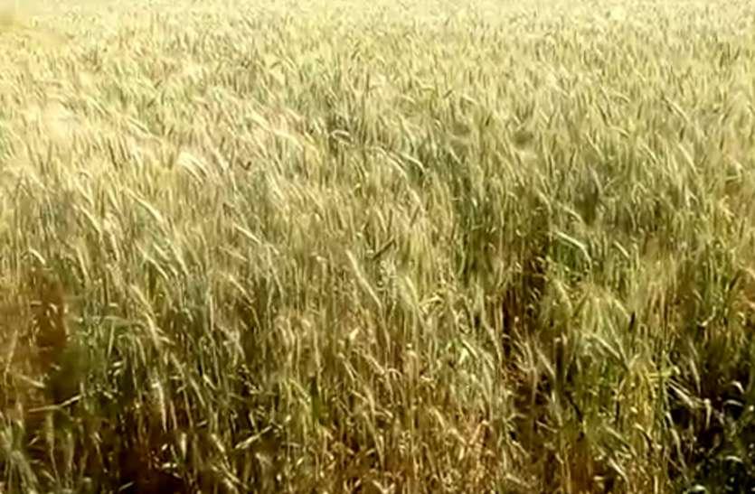 इस बार की गर्मी से कृषि वैज्ञानिक भी हैरत में, इसी वजह से बढ़ जाएंगे गेहूं के दाम