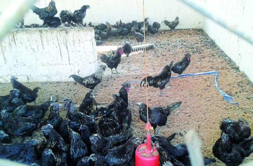 कड़कनाथ मुर्गा हुआ हमारा, प्रदेश के दावे को मिला जीआई टैग