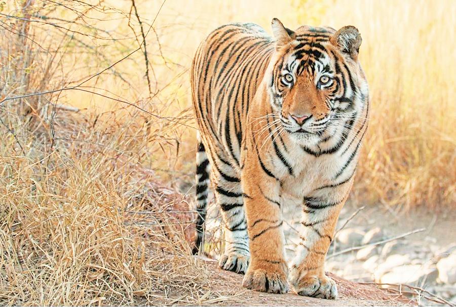 पिकनिक टाइम : जोधपुर के माचिया पार्क में देखें टाइगर जोड़े की अठखेलियां