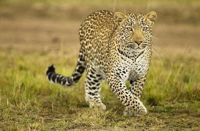 JAISALMER NEWS- धवल चांदनी में जंगल पर नजर, विशषज्ञ गिनेंगे वन्य जीव