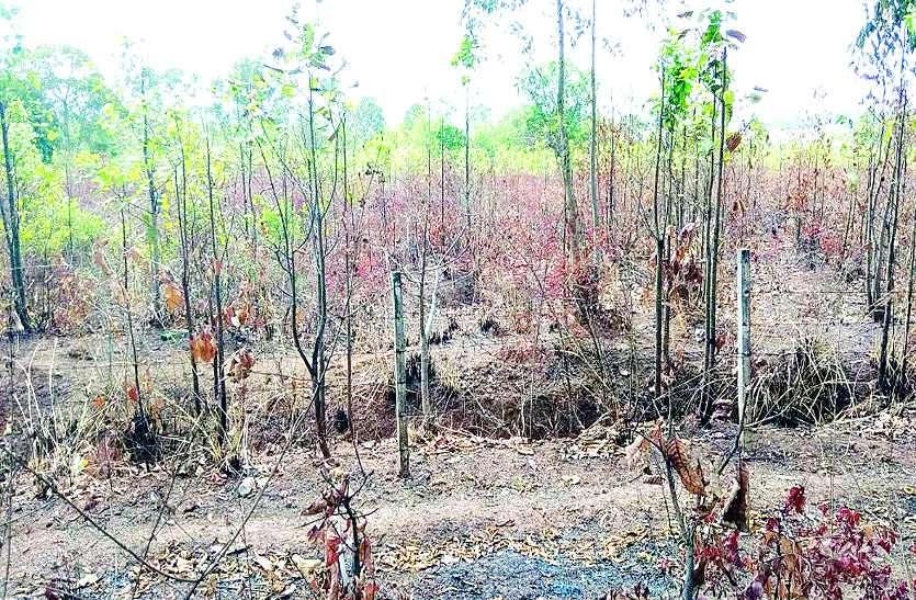 ऑक्सीजोन बनाने का सपना नाकाम, पहले जमकर काटे पेड़, अब लगा रहे आग