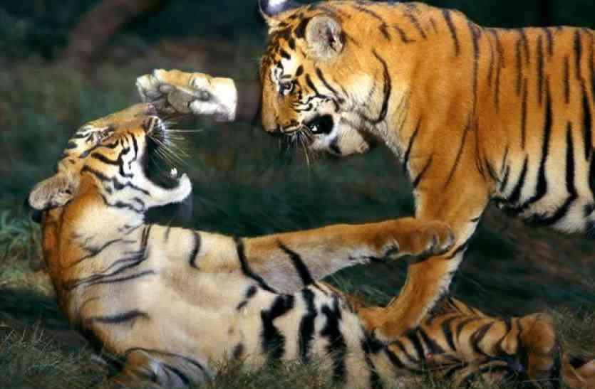 रणथम्भौर में आपस में भिड़े दो बाघ, दोनों की हुई मौत