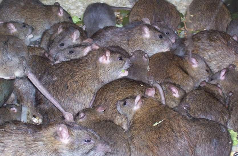 rat in hospital