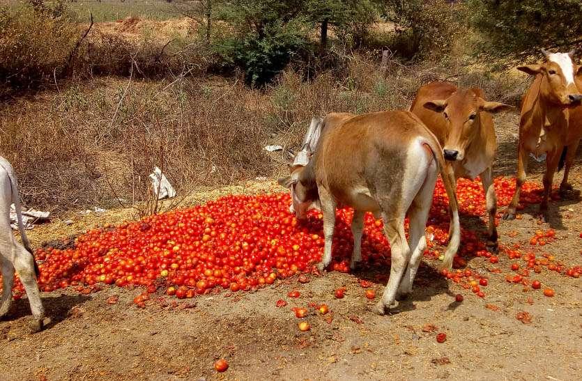 बड़ी खबर: यहां के किसानों ने सड़कों पर फेंके टमाटर, इन पर लगाए सीधे आरोप...- Video also