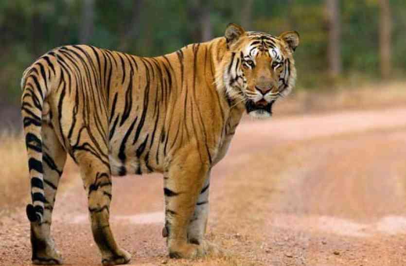 गुजरात में बाघ व तेंदुआ सफारी बनेंगे