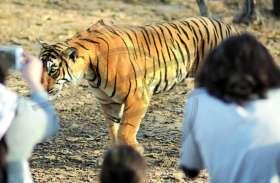Live Video, रणथंभौर में बाघिन ने पर्यटकों के सामने किया हिरण का शिकार