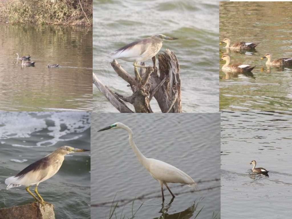 beautiful pics of birds in anasagar lake