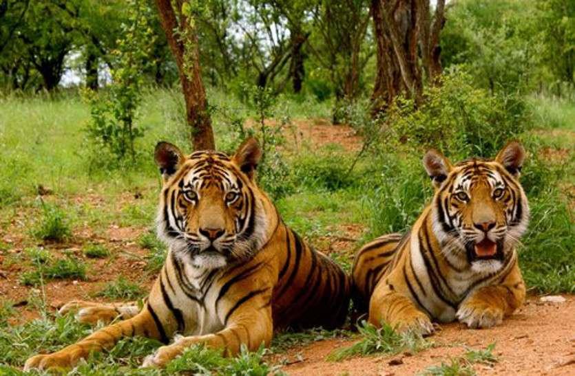 वन विभाग को भी नहीं पता चल पाया बाघ-बघेरों की मौत का कारण