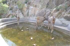 सरिस्का में पानी के लिए तरस रहे हैं जानवर, वीडियो में देखें जानवरों की पानी के लिए परेशानी
